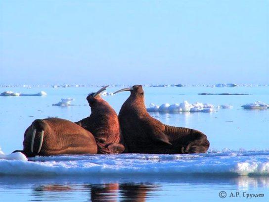 Валентина Матвиенко поручила определить объемы по добыче тихоокеанского моржа для коренных жителей Чукотки
