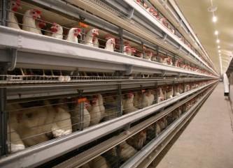 40 тысяч кур-несушек поселились на сахалинской птицефабрике «Островная»