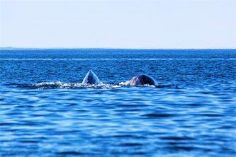 Китобои Чукотки намерены отстаивать квоты на добычу кита