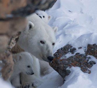 Белые медведи Чукотки адаптируются к изменениям климата