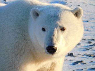 Белый медведь в фокусе внимания Арктических стран