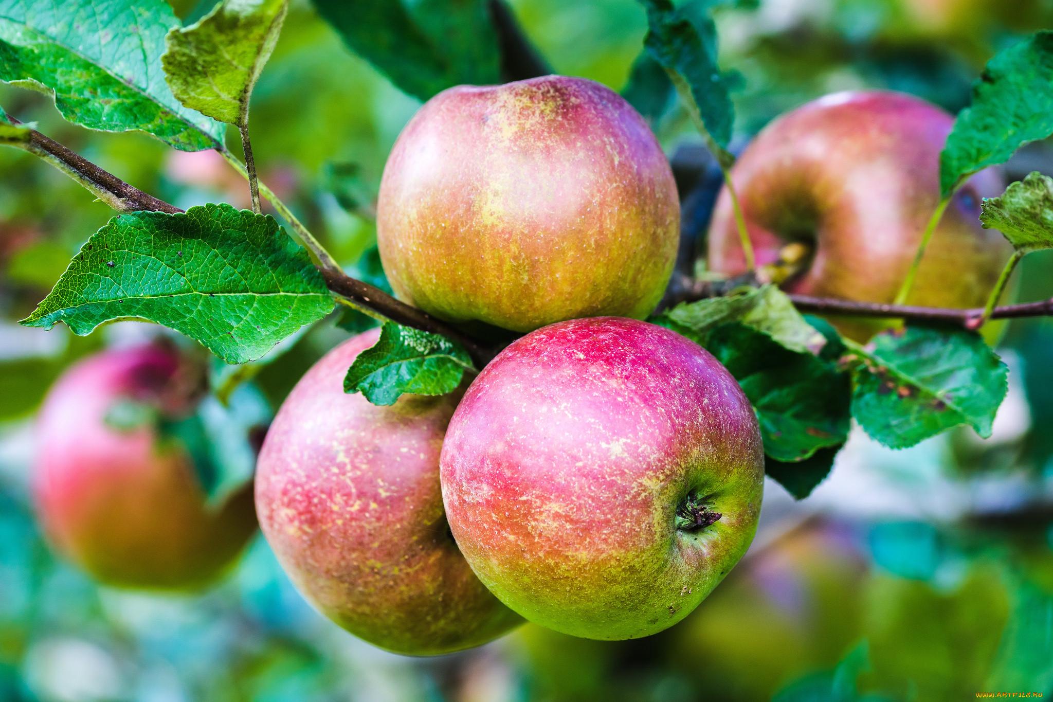 Варшава в бешенстве: Россия больше не будет покупать польские яблоки