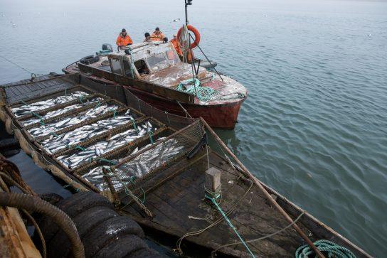 Чукотка определилась со сроками лососевой путины