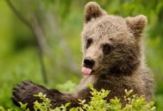 Британские СМИ запугивают болельщиков ЧМ-2018 голодными русскими медведями