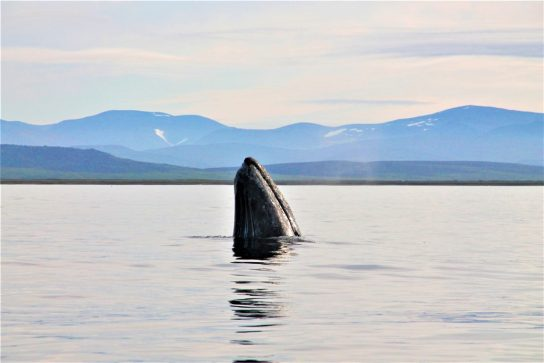 Чукотка на международном уровне отстаивает увеличение квоты на добычу китов