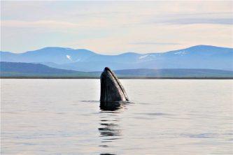 Китобои Чукотки готовятся к участию в сессии Международной китобойной комиссии