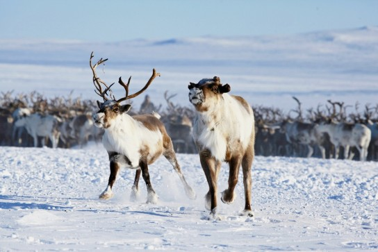 США хотят купить у Якутии и Чукотки российских северных оленей