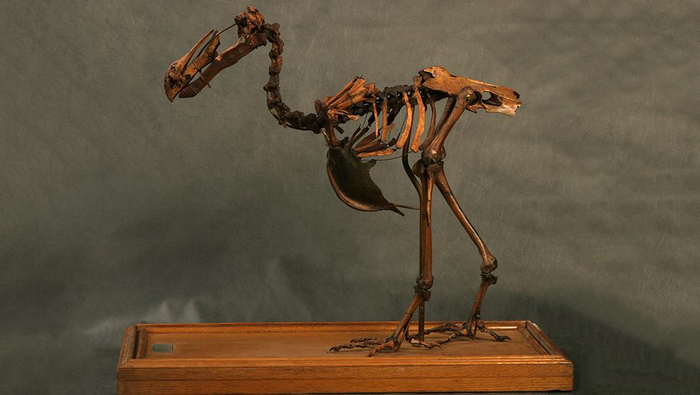 Знаменитую птицу додо покажут в Дарвиновском музее 19 декабря