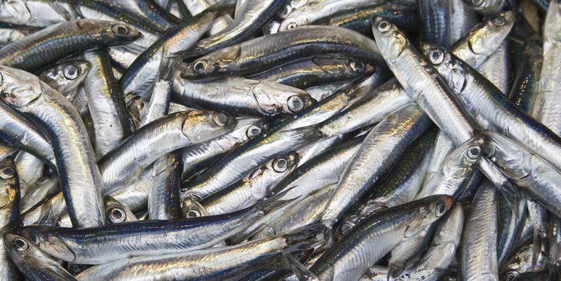 На фестивале черноморской рыбы  засолили первый улов хамсы